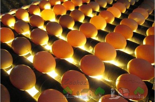 Яйця в інкубаторі під лампами фото