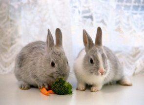 Азбука годування декоративних кроликів