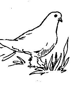 Бакинці (голуби)