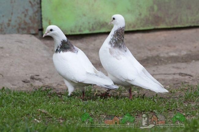 Бакинські голуби - льотні рекордсмени нашої країни!