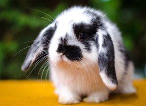 Баран - улюблена порода кролівників