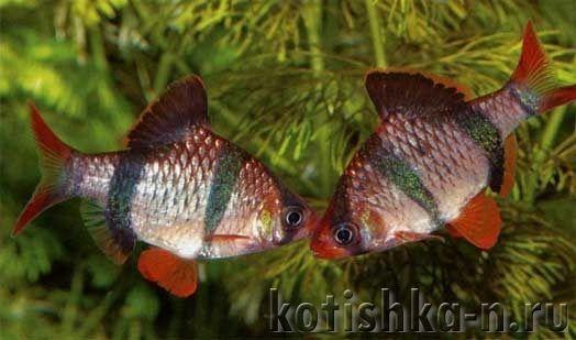 Барбус суматранський розведення в акваріумі