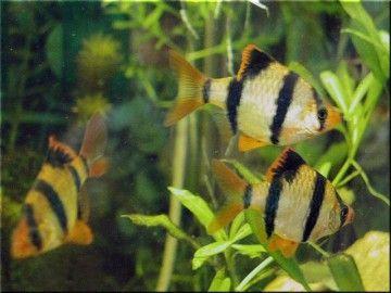 Барбуси в акваріумі