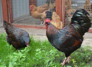 Барневельдер - рідкісні і красиві кури важкої м`ясо-яєчної спрямованості
