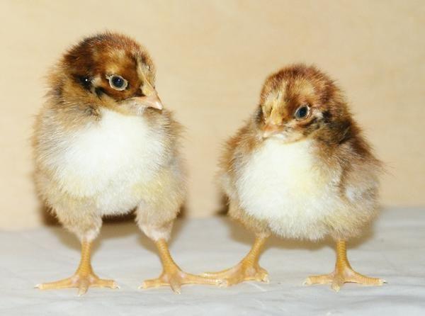 Курчата породи Барневельдер