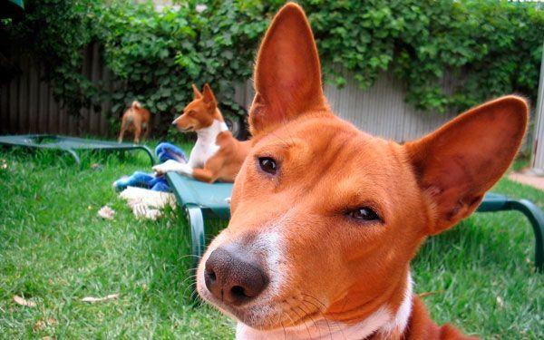 Басенджи: собака, яка не гавкає