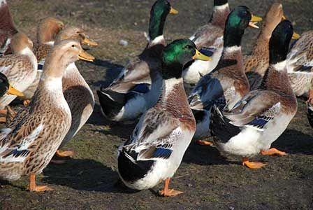 Башкирські кольорові качки