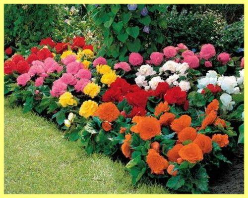 Бегонія садові вирощування і догляд