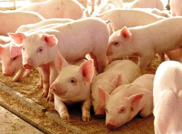 Беконні свинки ландрас і особливості їх змісту