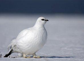 Біла куріпка - житель безкрайньої тундри