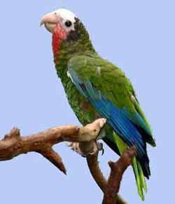 Білоголовий, або кубинський, амазон (amazona leocephala)