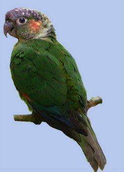 Білогрудий краснохвостий попугайpyrrhura albipectus