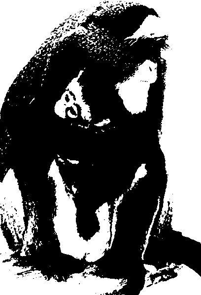 Білокрила горлиця (голуб)