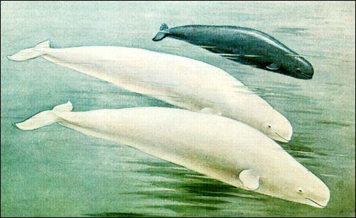 Білуха (delphinapterus leucas)