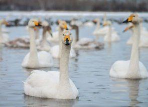 Білі лебеді - символ чистоти