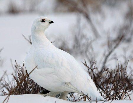Білий куропач і полювання на нього