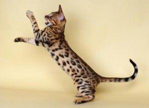 Бенгальська порода кішок
