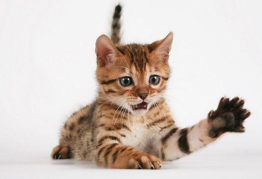 Порода бенгальська кішка