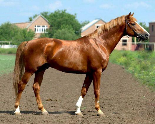 берберійські коні