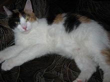 Вагітність: як визначити і як подбати про вагітну кішку