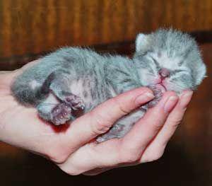 Новонароджений британський кошеня. Фото.