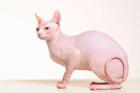 Безшерсті кішки: особливості та правильний догляд
