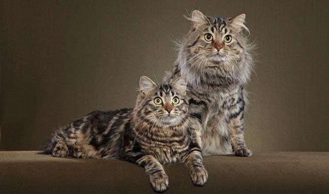 Два кота американського бобтейла