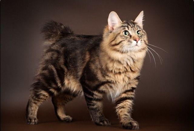 Кот курильської породи