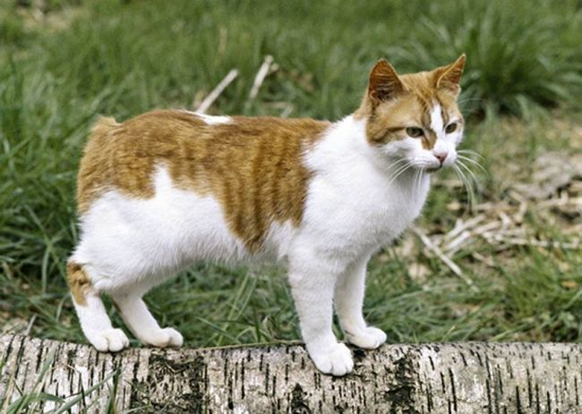 Руда менкським кішка на вулиці