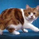 Фото 2. Кішка менській породи