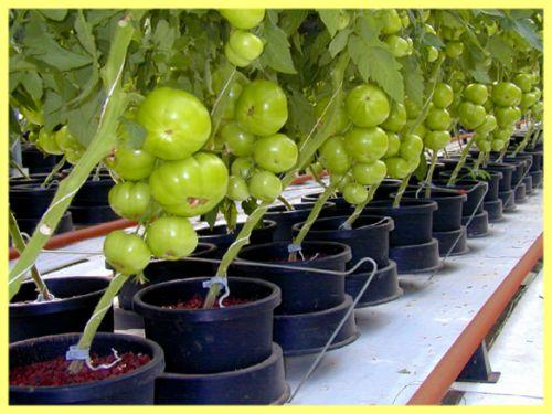Бізнес на вирощуванні розсади овочів