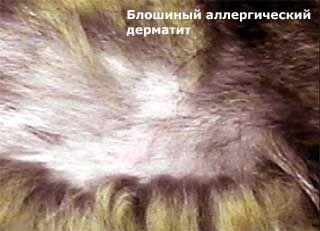 Блошиний алергічний дерматит у кішок.