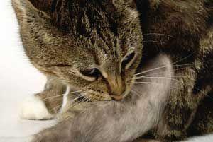На укуси бліх кішки кусають хвіст