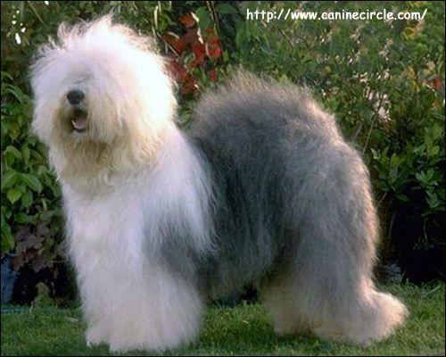Бобтейл (староанглійська вівчарка): стандарт fci від 28.09.1998