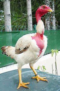 Кури бійцівської породи мадагаскарские