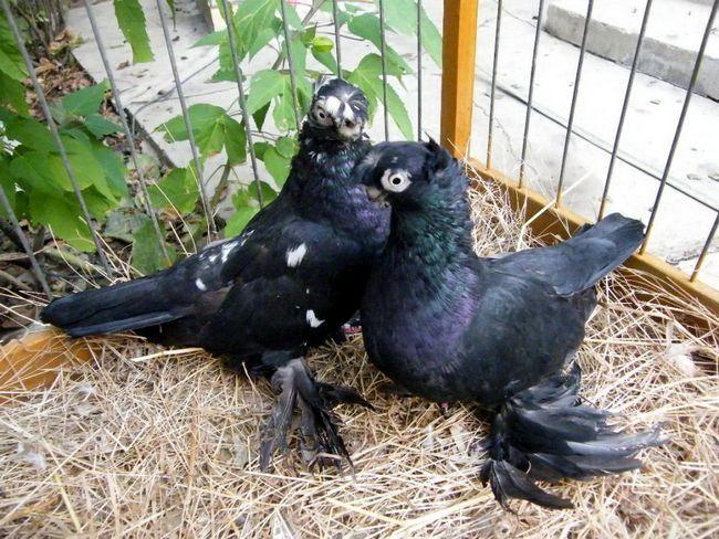 Бійні голуби - красива зовнішність і незвичайні перекиди в польоті