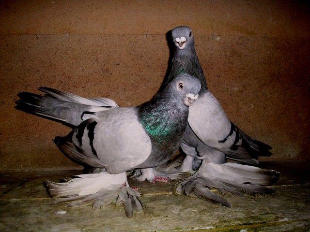 Пара Армавірського короткоклювих голубів