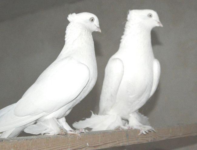 Пара Андижанском голубів