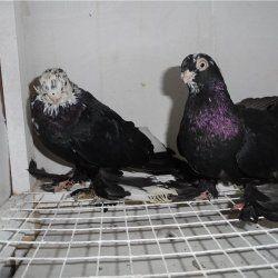 Армавірського Короткодзьобі птиці