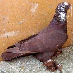 Благодарненскій голуб в профіль
