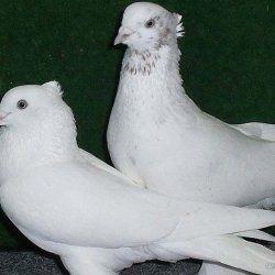 Два Андижанском голуба