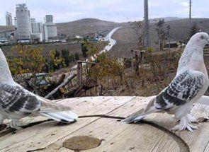 Бійні пернаті: опис турецької породи голубів такла