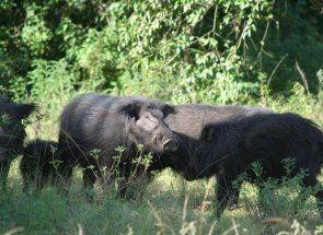 Велика лісова свиня і її домашні родичі