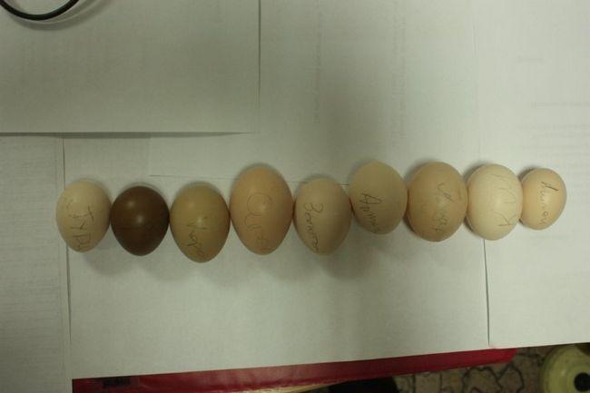 Яйця різних порід фазанів