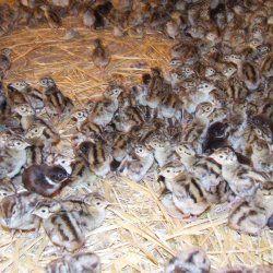 Маленькі курчата фазанів в сараї