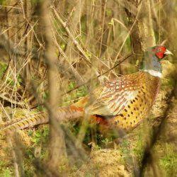Гарний помаранчевий фазан в кущах