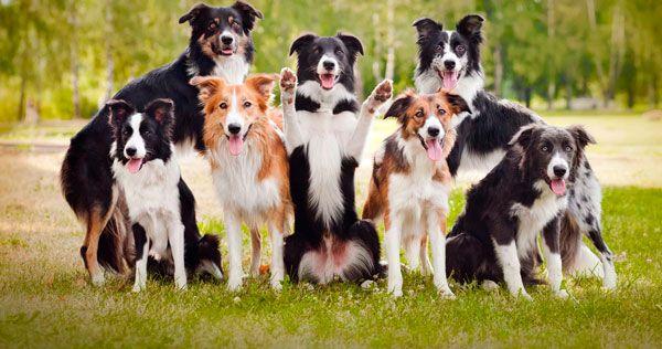 Бордер коллі: розумна собака для розумних господарів