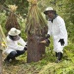 Пасічники збирають бортевой мед