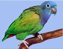 Бразильський черноухом ілісінеголовий красногузий попугайpionus menstruus