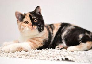 британська черепахова кішка